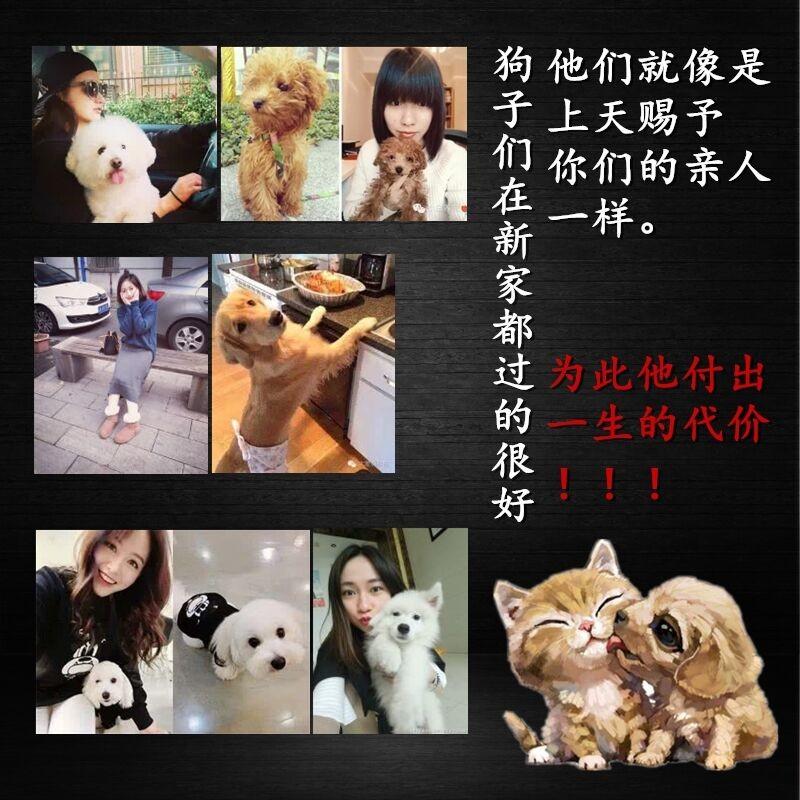 长春专业养殖基地出售韩系泰迪犬 血统有保障纯度高9