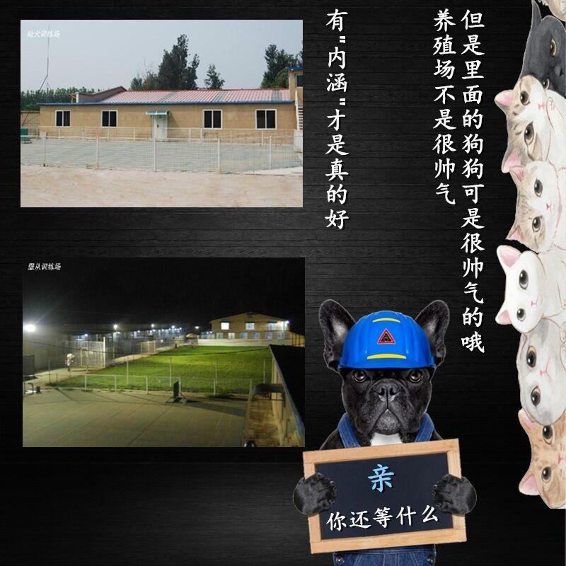 长春专业养殖基地出售韩系泰迪犬 血统有保障纯度高10