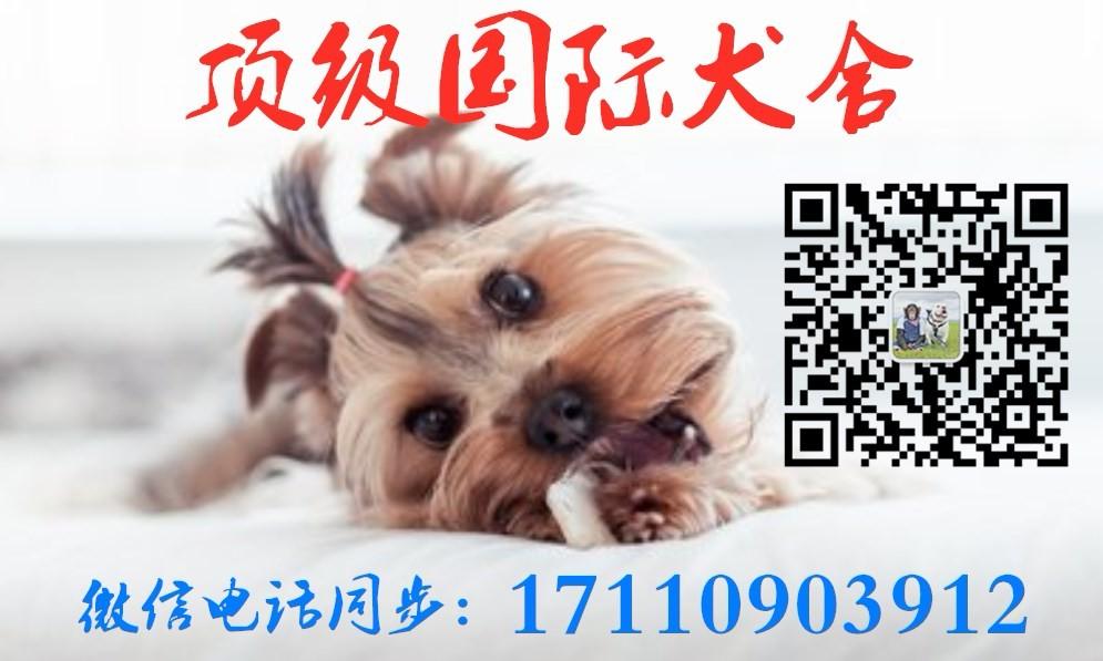 湘潭出售小体泰迪 颜色齐全健康品质泰迪熊放心喂养5