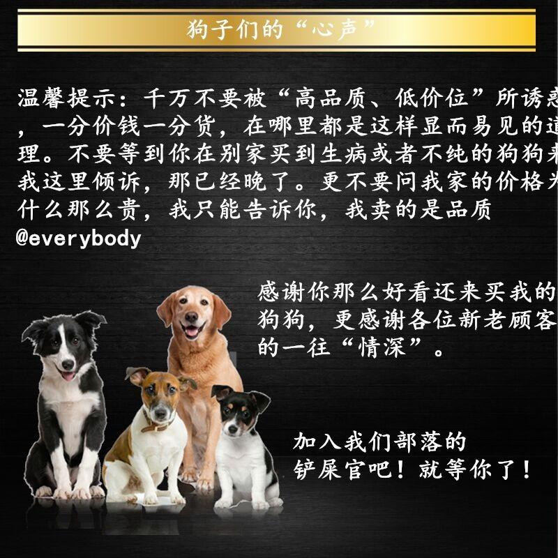 长春专业养殖基地出售韩系泰迪犬 血统有保障纯度高11