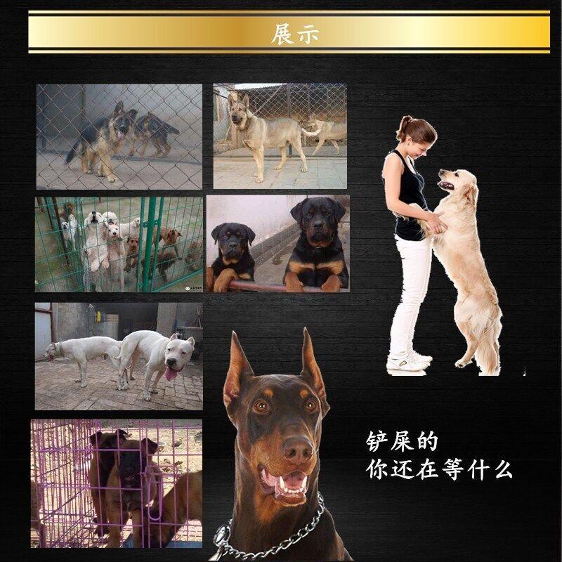 长春专业养殖基地出售韩系泰迪犬 血统有保障纯度高12