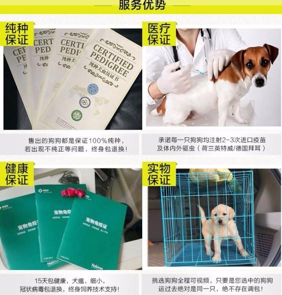 极品纯正的圣伯纳幼犬热销中送用品送狗粮7