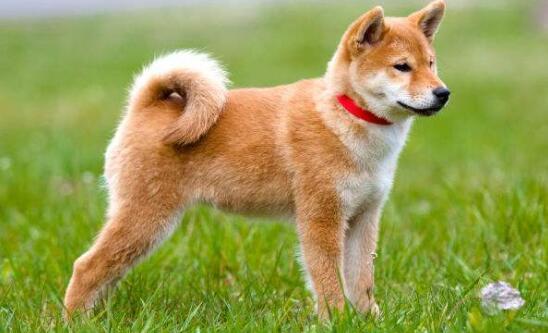 它是日本国犬、因一部电影名扬世界