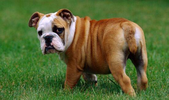 为何纯种狗狗容易生病而串串比较健康