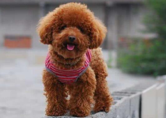 训练泰迪的三个误区,少错一个就能让狗子多健康一分