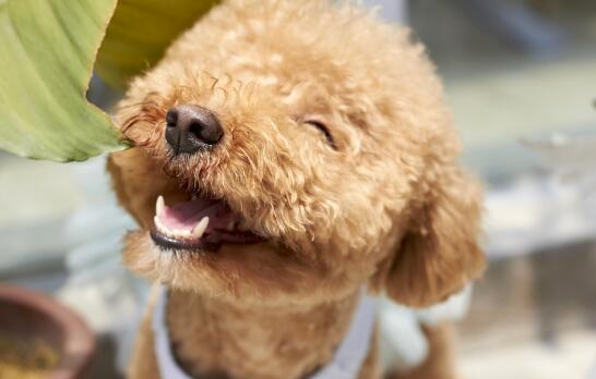 泰迪犬不能吃的四种食物,巧克力排在第一位
