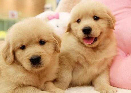 新买了一只金毛幼犬,怎么让它健康成长