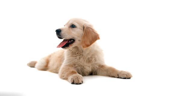 金毛幼犬在运动方面需要防范这几点 你做到了吗?