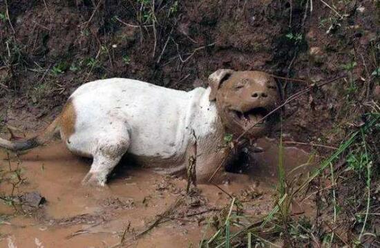 夏天狗狗总喜欢去泥坑玩?三个原因你不得不知
