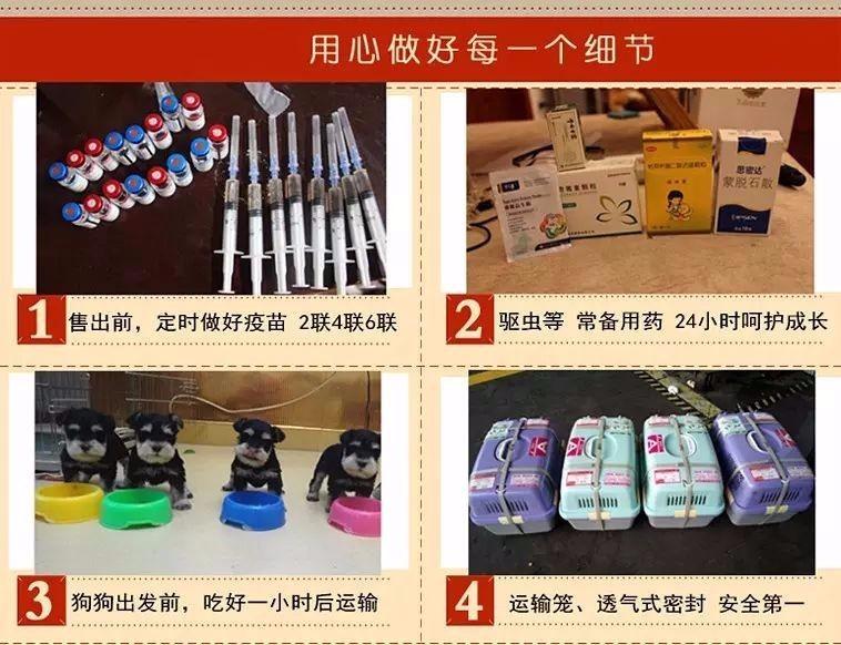 广州犬场直销纯种泰迪犬包品相包健康送泰迪犬狗粮等6