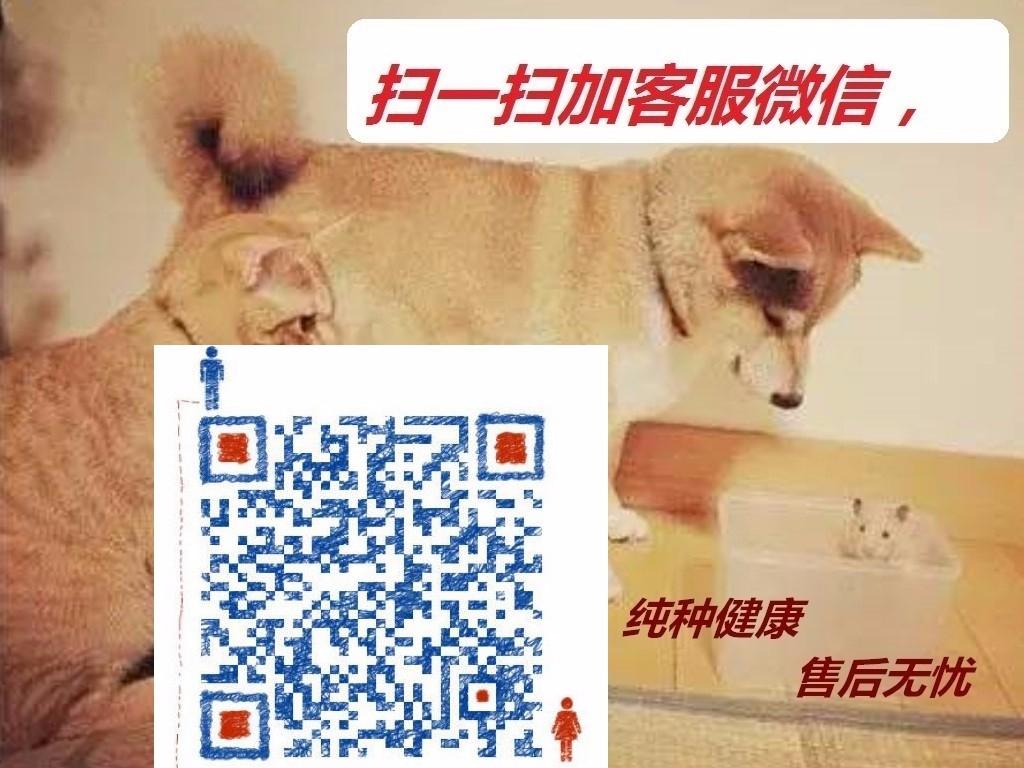 广州犬场直销纯种泰迪犬包品相包健康送泰迪犬狗粮等5