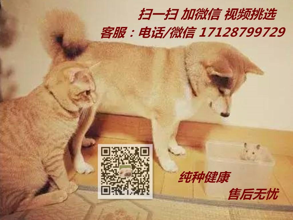 西安优惠出售健康纯种泰迪犬 活泼可爱 聪明机智7