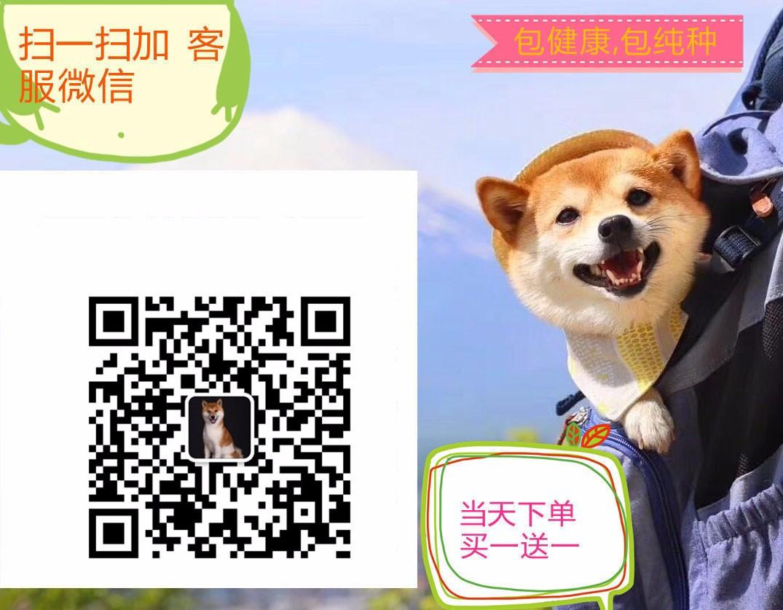 苏州热卖大丹犬多只挑选视频看狗支持全国空运发货5