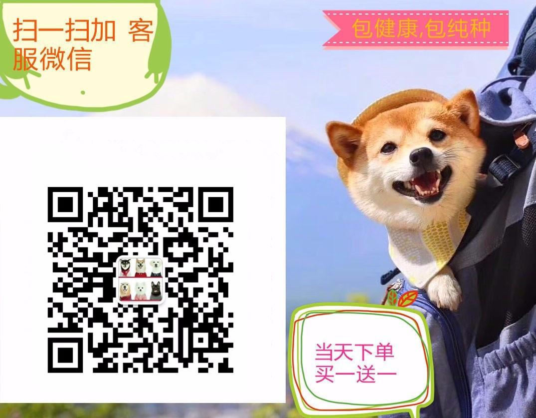 出售威猛i潇洒的藏獒犬 健康证书 血统证书5
