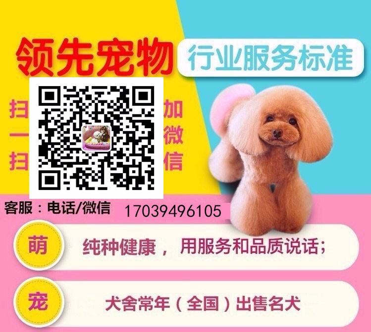 重庆至尊茶杯微小泰迪世家出售各色幼犬种公对外配种5