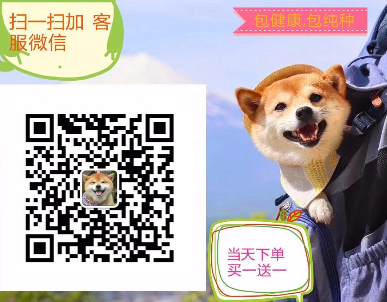 CKU犬舍认证出售高品质大丹犬提供护养指导5