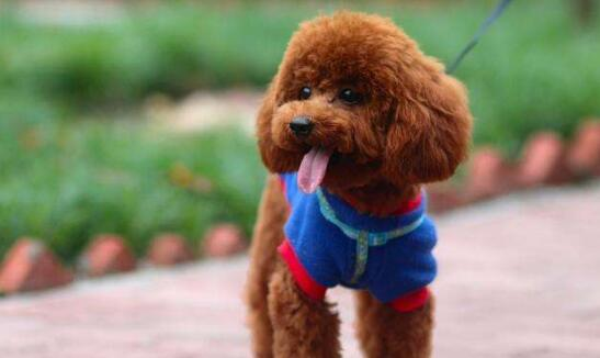 泰迪犬身上有皮屑怎么办?如何才能让泰迪犬干净又卫生