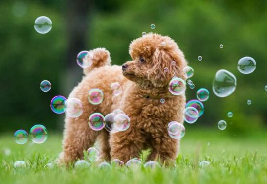 刚买了一只泰迪幼犬,什么时候才可以洗澡
