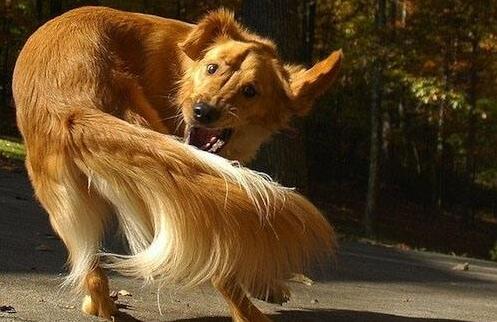 狗狗为什么一直转圈咬自己尾巴?是在搞笑吗