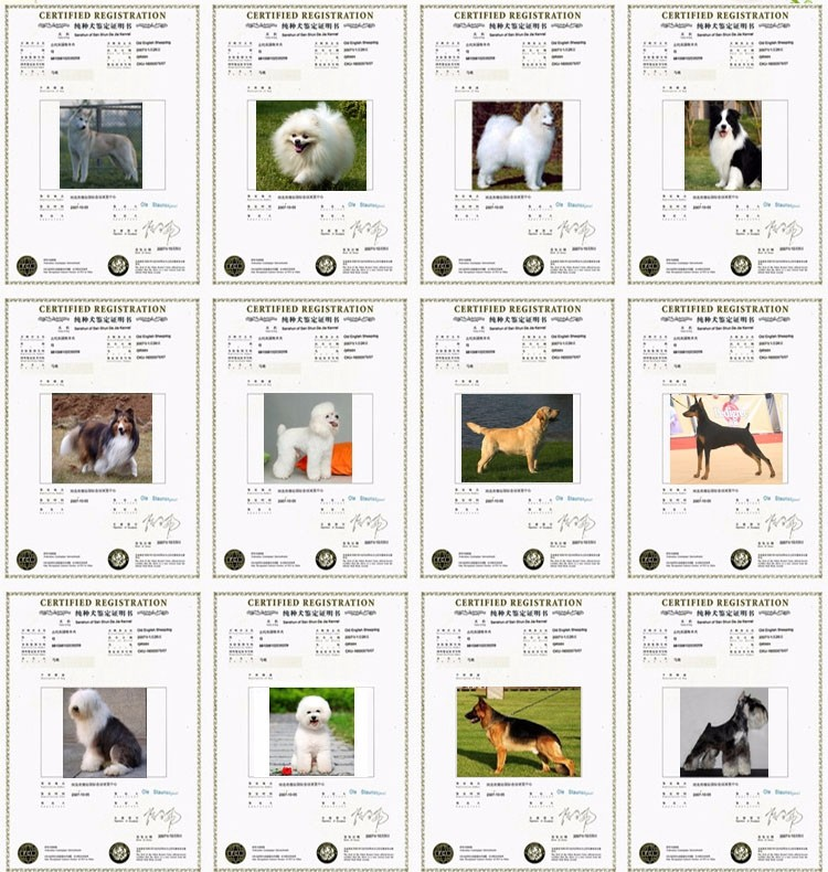 出售奶油虎斑色的呼和浩特斗牛犬 来场可见狗父母6