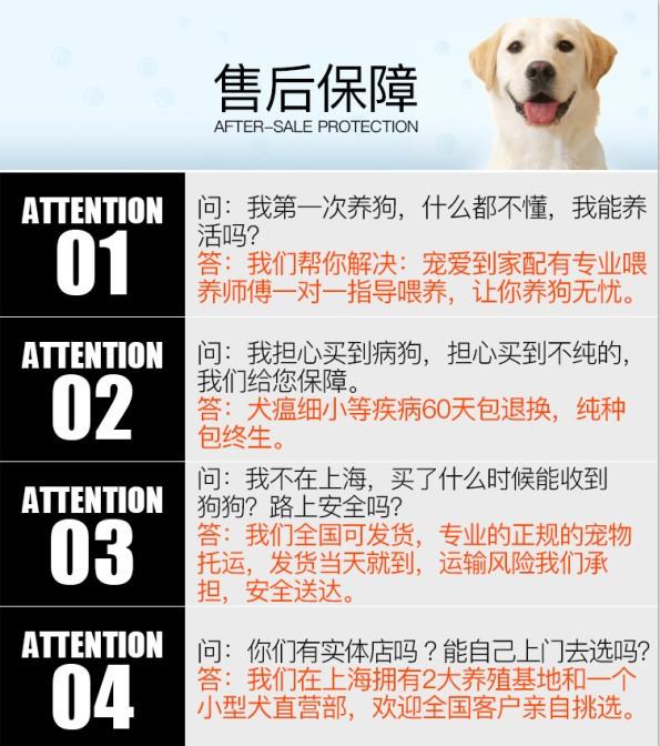 基地直销纯种泰迪幼犬 海口的朋友上门选购爱犬10