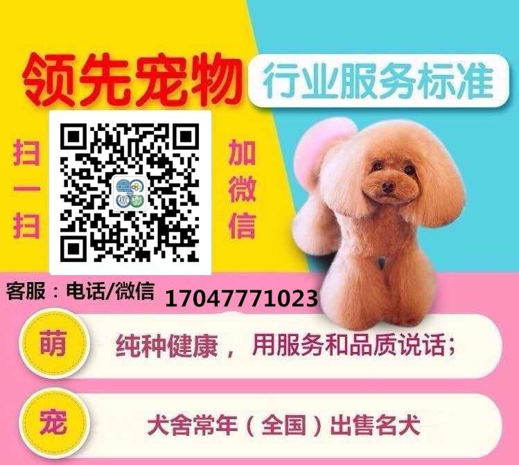 家养茶杯体济南泰迪犬转让品质保证可见父母5