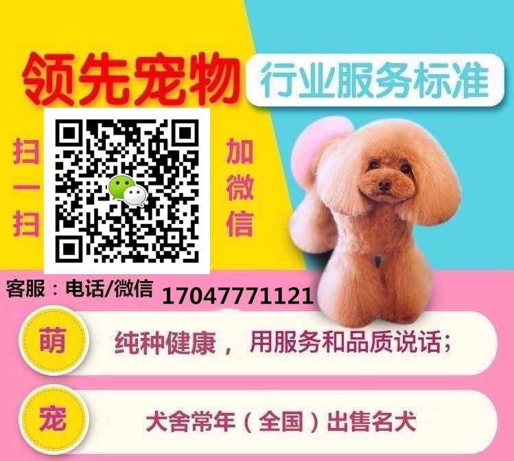 极品韩系血统小体沈阳泰迪犬热销 可签订售后协议书5