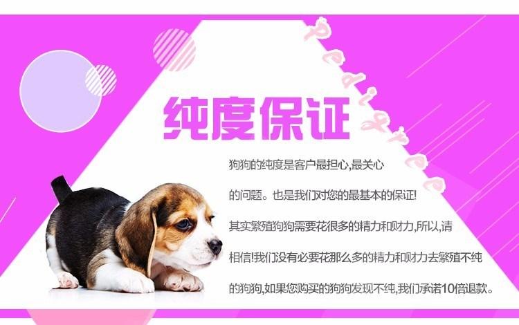 犬业出售品质优良血统纯正石家庄泰迪熊幼犬8