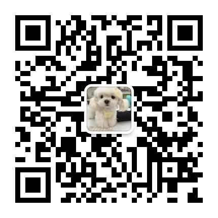 犬业出售品质优良血统纯正石家庄泰迪熊幼犬5
