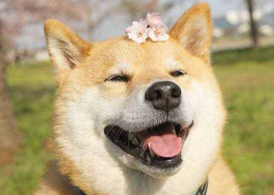 柴犬也是一代网红,怪不得如此受宠