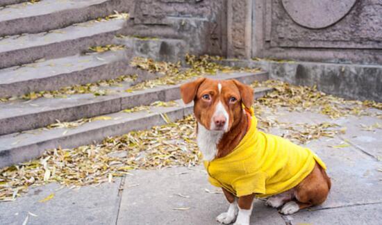 身材奇特的腊肠犬,在挑选时应该注意什么