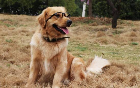 怪不得那么多人爱养金毛犬,原因竟然是这些