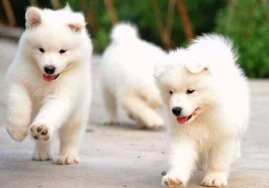 """萨摩耶犬有""""天使之笑""""之称,那小眼神迷倒你了吗"""