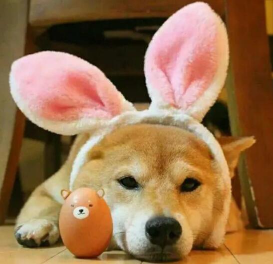 看到柴犬各种表情包,禁不住想和它多呆一会