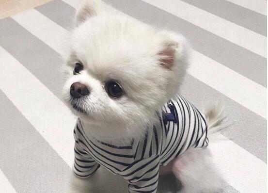 博美犬雪白迷人,总是掉毛让人感到焦心