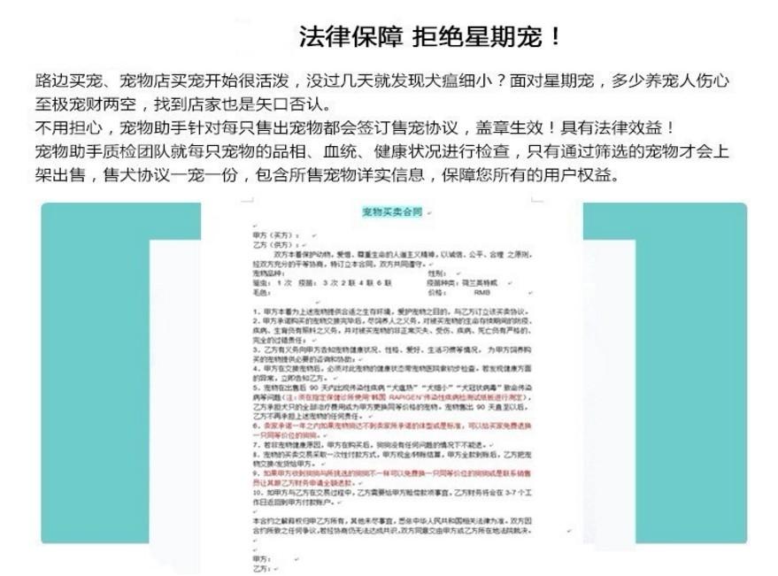 热销多只优秀的纯种沈阳约克夏国际血统证书13