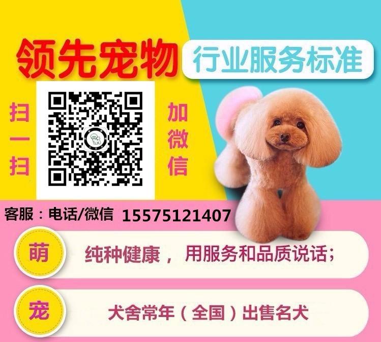 活泼可爱的东莞泰迪犬出售 诚信为本信誉第一5
