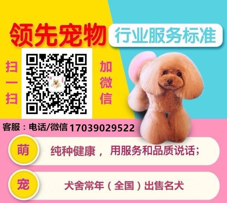 纯种昆明犬直销、低价热销保健康、可签保障协议5