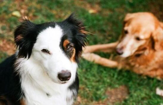 想要养聪明的狗子,边境牧羊犬和金毛怎么选