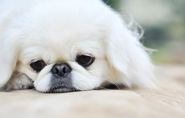 看着并不好看的京巴狗,其实也很值钱