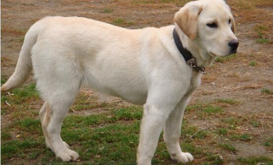 智商高又善良的拉布拉多犬,应该怎么去挑选