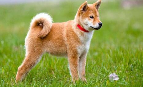 秋田犬和柴犬如同孪生兄弟,傻傻的分不清