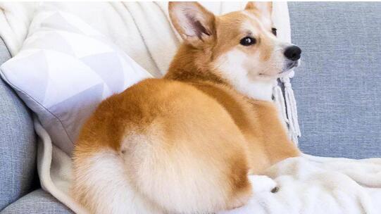 小短腿柯基犬,应该怎么去挑选呢?