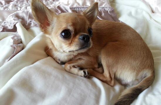大爆眼珠子吉娃娃犬,到底应该怎么去挑选?