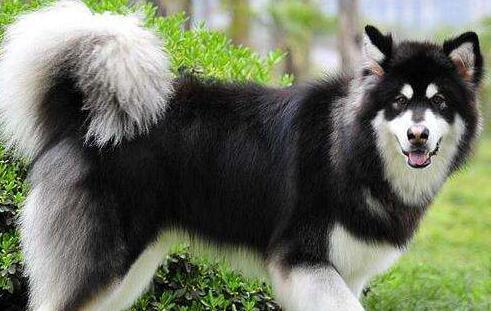 养阿拉斯加犬,原来需要这么大的勇气和挑战