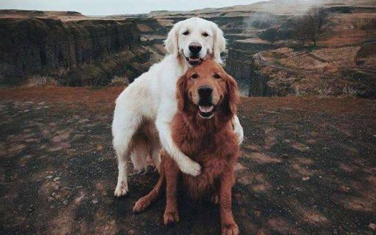 忍不住啦!家里养了两只狗为何一直打架?