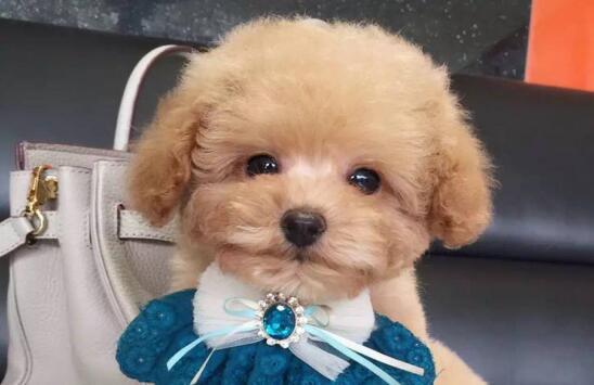 泰迪犬这样装扮可好,是否萌到你了?