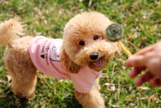 泰迪犬身体弱经常生病?三个方法提高狗狗免疫力