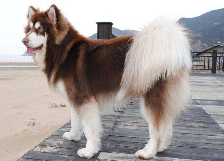 炎热夏季,带阿拉斯加这种长毛狗出去要注意什么事情?