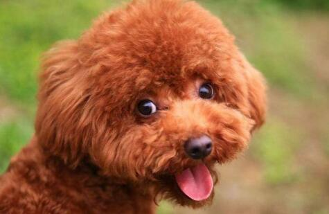 新人想养一只泰迪,在养狗之前你要知道这三件事!